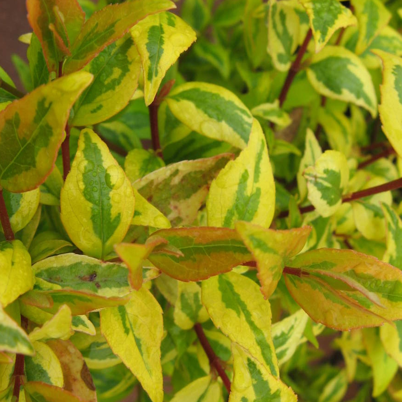 bambou qui devient jaune. beautiful hypericum calycinum jaune