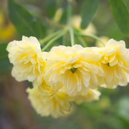 Rosier liane liane Banksiae Lutea