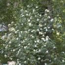 Rosier liane liane Goldfinch
