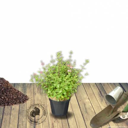 Sauge à petites feuilles microphylla Hot Lips®