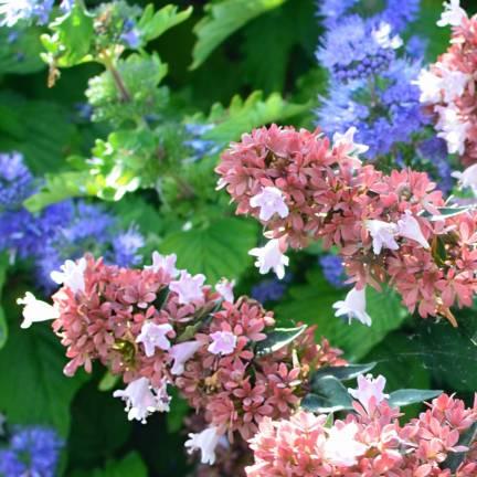 Abélie à grandes fleurs grandiflora Raspberry Profusion
