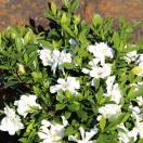 Gardenia x Celestial Star® 'PS-2013-4'