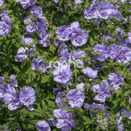Hibiscus syriacus Blue Chiffon® 'Notwoodthree'