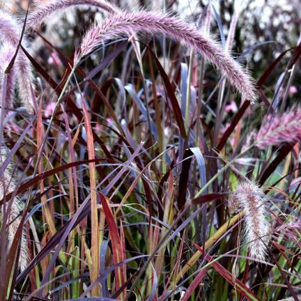 Herbe aux écouvillons setaceum Rubrum