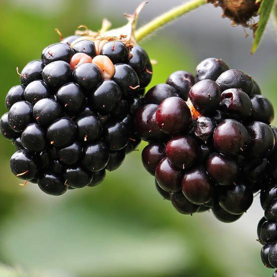 Mûre fruticosus Adrienne®