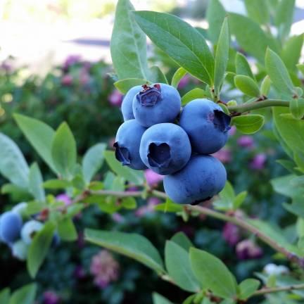Myrtille corymbosum Blue Suede® 'TH682f'