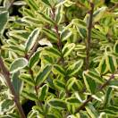 Chèvrefeuille nitida Lemon Beauty