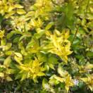 Abélie à grandes fleurs grandiflora Francis masson