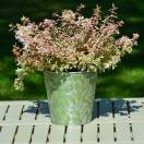 Abélie à grandes fleurs grandiflora Pink Lady® 'KEYLAD'