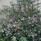 Abelie x Pink Pong® 'abenov 41'