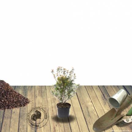 Azalée japonaise japonica Amoena