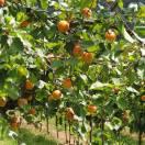 Abricotier armeniaca Précoce de Saumur