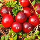 Canneberge à gros fruits, Airelles, Cranberry macrocarpon Early Black