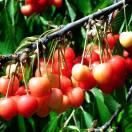 Cerisier cerassus Anglaise Hative