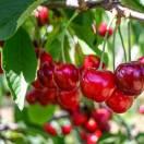 Cerisier Bigarreau Burlat