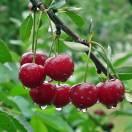 Cerisier Bigarreau Geant d'Hedelfingen