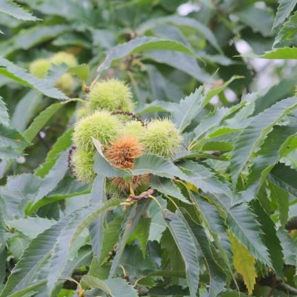 Arbres grand d veloppement sp cialiste des plantes de jardin - Taille d un chataignier ...