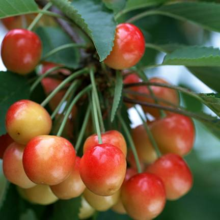 Cerisier cerassus Bigarreau Rainier