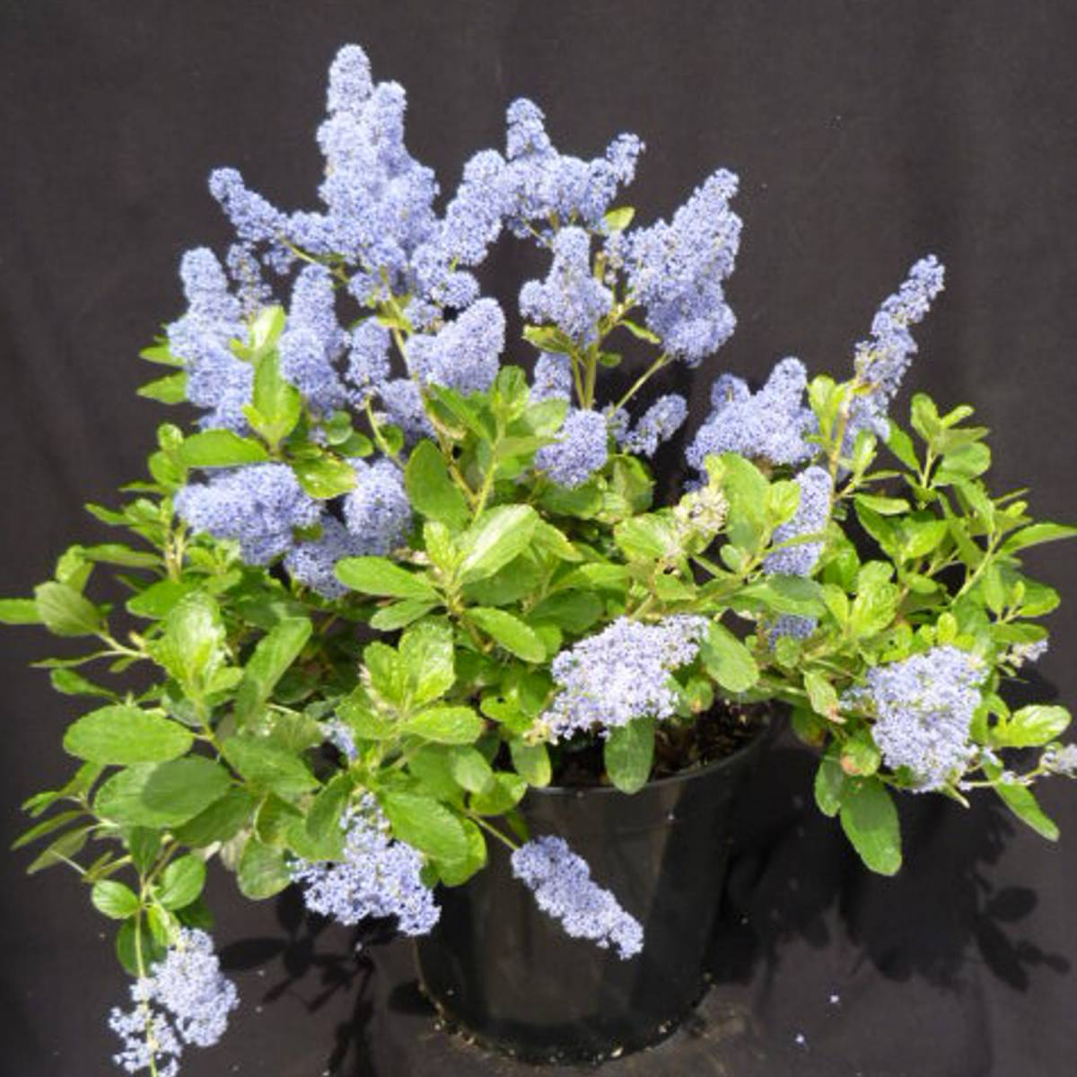 ceanothus arboreus trewithen blue taille. Black Bedroom Furniture Sets. Home Design Ideas