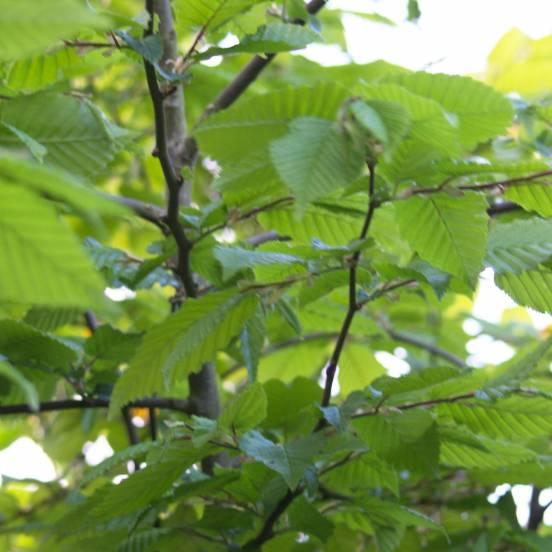 Charme betulus Incisa