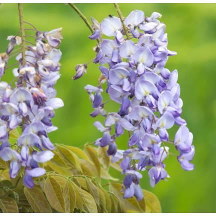 Glycine de Chine sinensis Blue Sapphire
