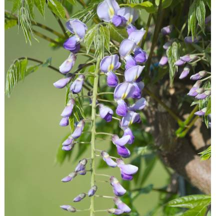 Glycine du Japon floribunda Tiverton