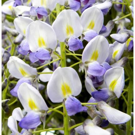 Glycine du Japon floribunda Blue Dream