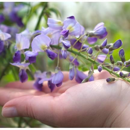Glycine du Japon floribunda Domino