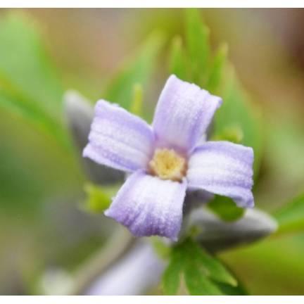 Clématite heracleifolia Jouiniana Praecox