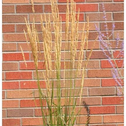 Calamagrostis acutiflora Avalanche