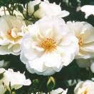 Rosier arbustif Decorosier® Opalia® 'Noaschnee'
