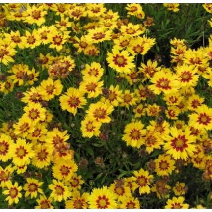 Coréopsis à grandes fleurs grandiflora Sunfire