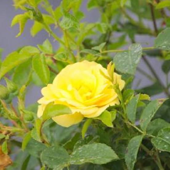 Rosier arbustif Decorosier® Suneva® 'Noalesae'