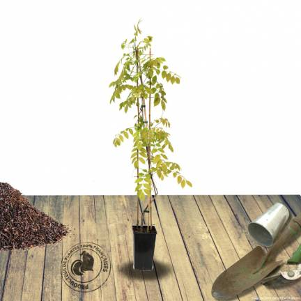 Glycine d'Amérique frutescens