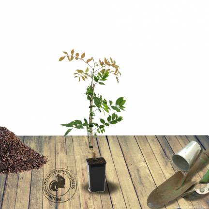 Glycine d'Amérique frutescens Longwood Purple