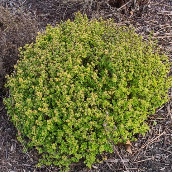 Epine-vinette thunbergii Green Carpet