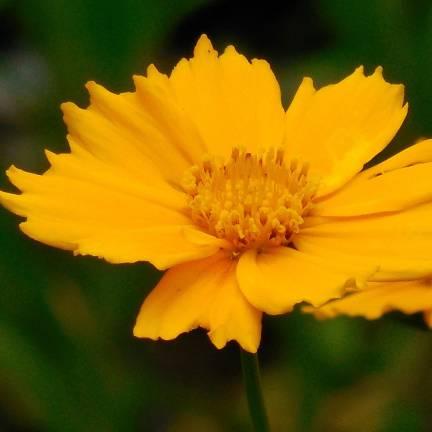 Coréopsis à grandes fleurs grandiflora Badengold