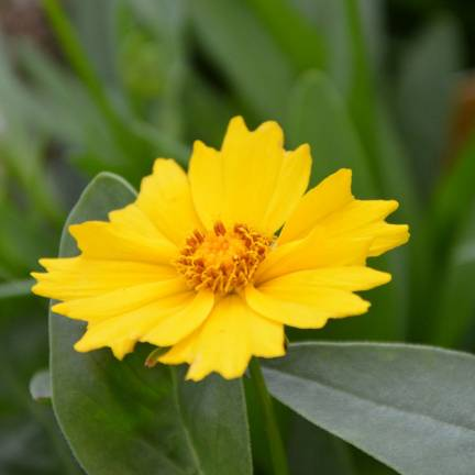 Coréopsis à grandes fleurs grandiflora Etoile d'Or