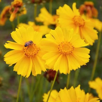 Coréopsis à grandes fleurs grandiflora Mayfield Giant