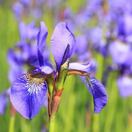 Iris de Sibérie Gatineau