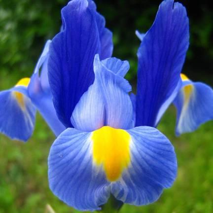 Iris de Sibérie Seven Seas
