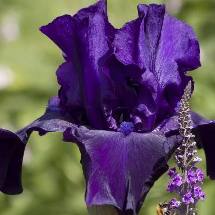 Iris des jardins Midnight Hour