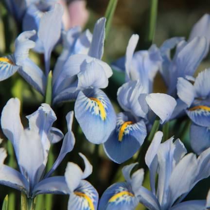 Iris de Sibérie Blue Moon