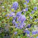 Ceanothe thyrsiflorus Blue Sapphire