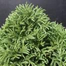 Cèdre du Japon japonica Globosa Nana