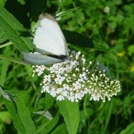 Arbre aux papillons x White Chip