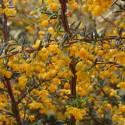 Epine-vinette x stenophylla