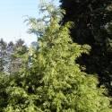 Thuya géant plicata Zebrina