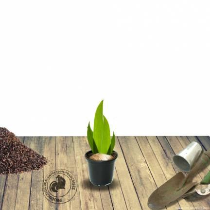 Iris des jardins Antique Ivory