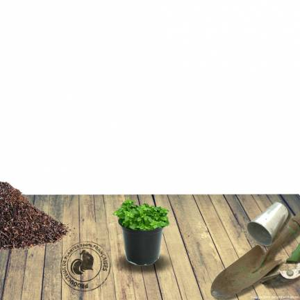 Arabette ferdinandi-coburgii Variegata